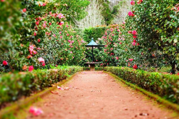 Path between Rose Bushes
