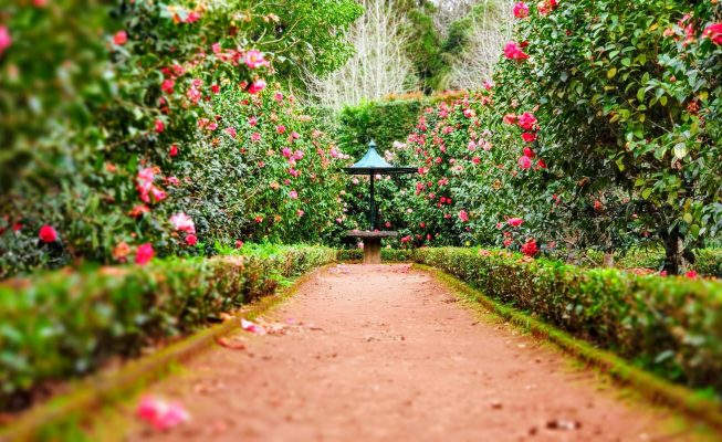 Path between Rose Bushes